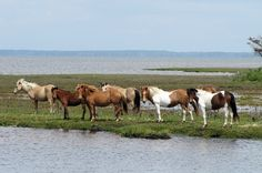 Assateague Island National Seashore, Maryland #camping #hiking #parks http://greatist.com/fitness/best-camping-united-states