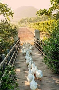 Country life on the farm. Ducks crossing a footbridge. Orderly and so cute! Country Farm, Country Life, Country Living, Country Roads, Country Women, Wine Country, The Farm, Beautiful Birds, Animals Beautiful