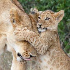 Photo Lion Hug by Denzil Mackrory on 500px