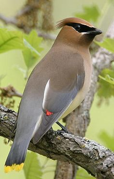 Cedar Waxwing  Habitat:Backyards, parks and open woodlands.  Diet:Fruit, tree sap, flower petals and insects.  Backyard Favorites: Berry-producing trees and shrubs like mountain ash, firethorn, highbush cranberry and mulberry.