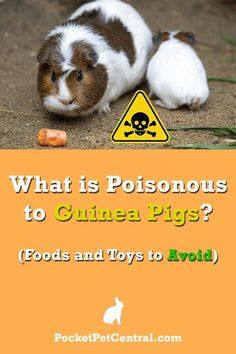 """Guinea pigs are among the most popular indoor pets, especially in households with children.  Healthy guinea pigs, also called cavies, can be very social and playful with their owners. They communicate by squealing and demonstrate their happiness by """"popcorning"""" (bouncing in the air).  But as with many pocket pets, guinea pigs must be adequately cared for to ensure they live a full and healthy life"""