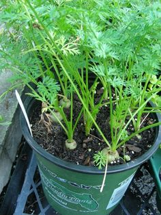 vegetable gardening in containers | carrots