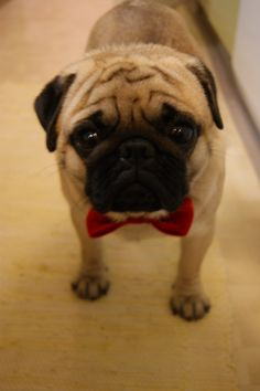 cute pug with red bow tie