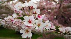 Cherry or Sakura Blossom – Japan Pride Flower – Most Beautiful Flower