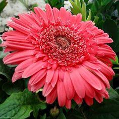 Gerbera, Bloom, Plants, Beautiful, Flora, Plant