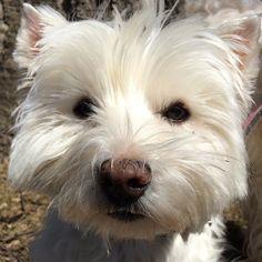 Walking with Wallie. #dog #dogs #katanddog #whwt #westie #westhighlandterrier #terrier #westhighlandwhiteterrier