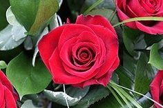Here's 40 free jpeg images that are downloadable of the most beautiful red roses. These red rose images are available to anyone as free pictures...