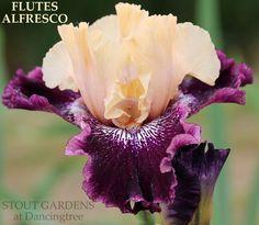 Purple Iris – translation missing: en.general.meta.page 6 – Stout Gardens at Dancingtree