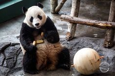 We offered to help and make some natural, durable toy balls for the pandas using local pine from Eastern Finland as the material. Handmade Wooden Toys, Custom Woodworking, Panda Bear, Finland, Mammals, Two By Two, Solid Wood, Balls, Pandas
