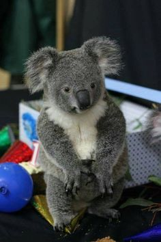 About the cutest koala ever!