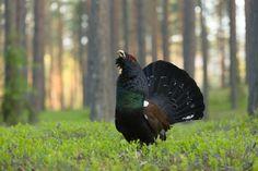Image result for estonia wildlife