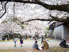 Hanami (picnic under the sakura tree)
