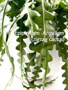 Epiphyllu Anguliger zigzag cactus Green Plants, Air Plants, Indoor Plants, Succulent Hanging Planter, Hanging Plants, Cacti And Succulents, Cactus Plants, Interior Plants, Nature Tree