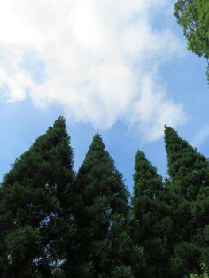 スギ.  Japanese cedar. 20 July 2016.