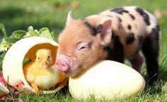 The Cutest Little Pigs You've Ever Seen – BoredBug