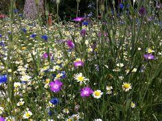 wild achillea in the garden - Google Search