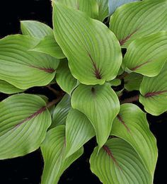 hosta 'Almost', a green seedling with colored petioles. Hybridizer Arthur Wrede named it H. 'Almost' as he has almost gotten the red [coloring from the petiole] up into the [leaf] veins.