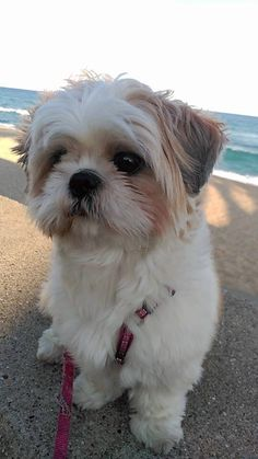 I want this dog another Shih Tzu❤️
