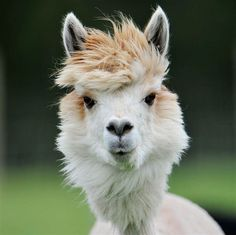 Farm Animals, Animals And Pets, Funny Animals, Cute Animals, Beautiful Creatures, Animals Beautiful, Alpaca Shearing, Your Spirit Animal, Pets