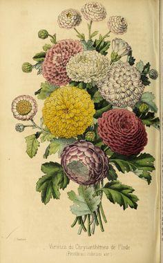 ser. 3:t.4 (1850) - Revue horticole. - Biodiversity Heritage Library