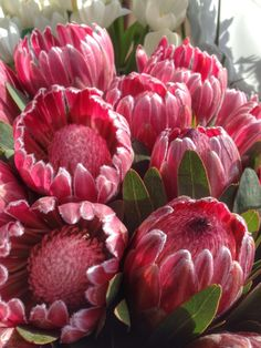 Tropical flowr from SA Protea Exotic Plants, Exotic Flowers, Amazing Flowers, Pink Flowers, Beautiful Flowers, Protea Art, Protea Flower, Garden Shrubs, Beautiful Flower Arrangements