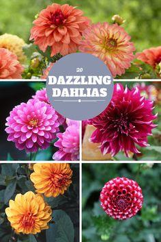 20 Dazzling Dahlias To Grow In Your Garden --> http://www.hgtvgardens.com/flowering-plants/dahlias-darling?soc=pinterest