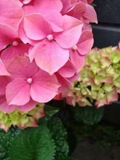 Florecimiento de las hortensias 2