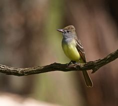 https://flic.kr/p/n4JjsV   Great Crested Flycatcher   Hanging out in the batture along the Mississippi River.  Angola State Penitentiary West Feliciana Parish, LA 8 April, 2014