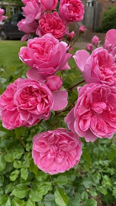 How to make your garden look great with classic Pink Roses