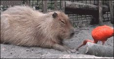 How To Get Capybara's to Fall Asleep Instantly