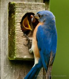 baby feeding bluebird  | Jim Braswell