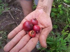 A feast of Strawberry Guava picked from groves along the Wa'ahila Ridge Trail.