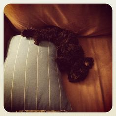 Oopsie, I fell off the pillow.    Adorable toy poodle, lounging on the couch.