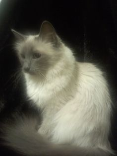 Trixie birman cat