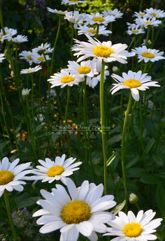 Daisies Standing tall