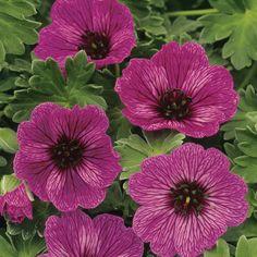 Hardy Geranium 'Purple Pillows' - Single Flowering Hardy Geraniums - The Vernon Nursery