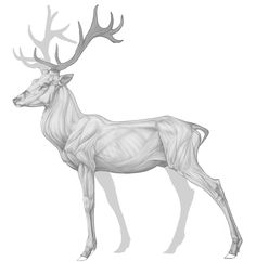Virgil. Red stag anatomy practice. Many flaws still, argh.