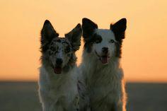 Border collie / australian shepherd