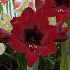 'Royal Velvet' ist eine dunkelrote Amaryllis mit einer wahrhaft majestätischen Aura. Die Zwiebeln kommen ab November in die Pflanzgefäße und blühen dann als Zimmerpflanze mitten im Winter - online erhältlich bei www.fluwel.de