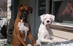 """It's about time you got home, and don't even say you don't have cookies!"" (boxer)"