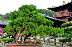 One of many bonsai