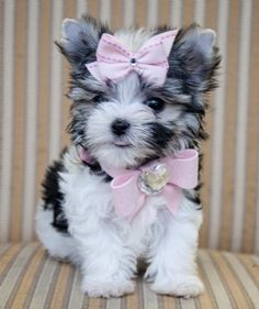 teacup #morkie #dogs #cute !!!!!