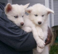 White Wolf Pups With Blue Eyes - wolves photo