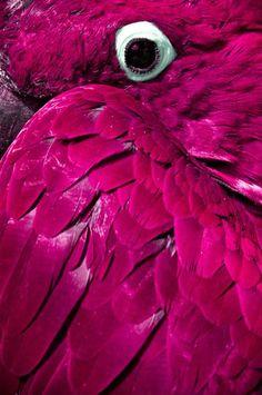 Parrot Eye