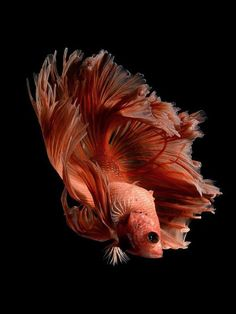Do you have an interest in freshwater ornamental fish? What kind of ornamental fishes that you have? Well, as an ornamental freshwater fish lovers, I'm sure that you were familiar with Betta fish. Betta Fish Types, Betta Fish Care, Underwater Creatures, Ocean Creatures, Colorful Fish, Tropical Fish, Freshwater Aquarium, Aquarium Fish, Beautiful Creatures