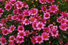 Coreopsis 'Garnet' from Evergreen Nursery, Inc.  Photo courtesy of Terra Nova Nurseries, Inc. www.terranovanurseries.com