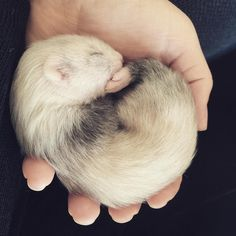 Four weeks old baby ferret ❤️ Just look at the baby!!!!