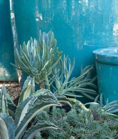 Select plants that repeat the color of the container for a clean, monochromatic and understated design. These turquoise pots make a dreamy combination with the blue-toned succulents shown here. Agave americana 'Mediopicta Alba,' Slender blue chalk fingers (Senecio mandraliscae, zones 10 to 11)  The finely textured blue spruce sedum (Sedum rupestre 'Blue Spruce,' zones 3 to 11) on the right is hardier than the others and looks wonderful san francisco - Le jardinet