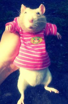 This pet rat is just to cute!