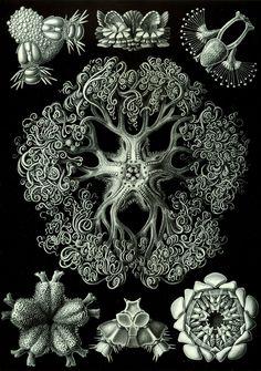 Jellyfish art print Victorian art print poster old prints Ocean Decor Natural History sea art print nature art print beach art print Art Et Nature, Nature Prints, Science And Nature, Nature Drawing, Nature Paintings, Illustration Photo, Botanical Illustration, Illustrations, Nature Illustration